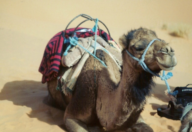 MDS camel lounging